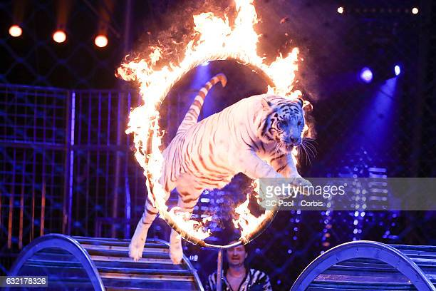 Tiger performs during the 41th MonteCarlo International Circus Festival on January 19 2017 in MonteCarlo Monaco
