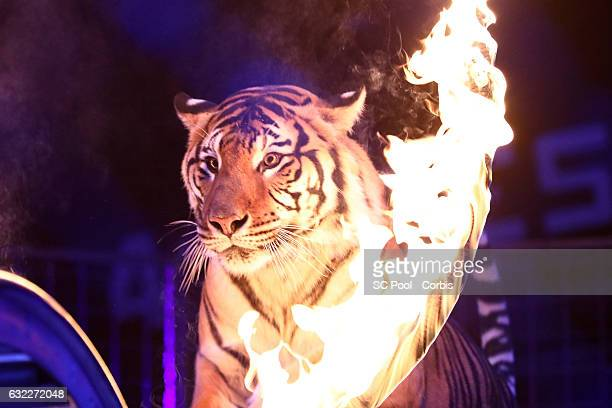 Tiger performs during the 41th MonteCarlo International Circus Festival on January 20 2017 in MonteCarlo Monaco