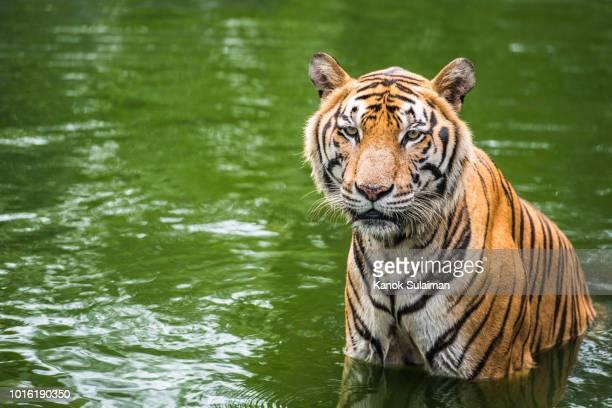 tiger - mamífero - fotografias e filmes do acervo