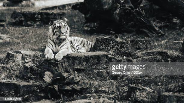 World S Best Black Tiger Wallpaper Stock Pictures Photos And Images Getty Images