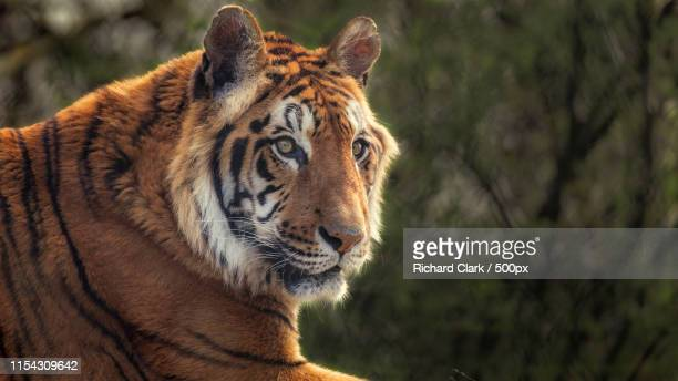 tiger - zoo stock pictures, royalty-free photos & images