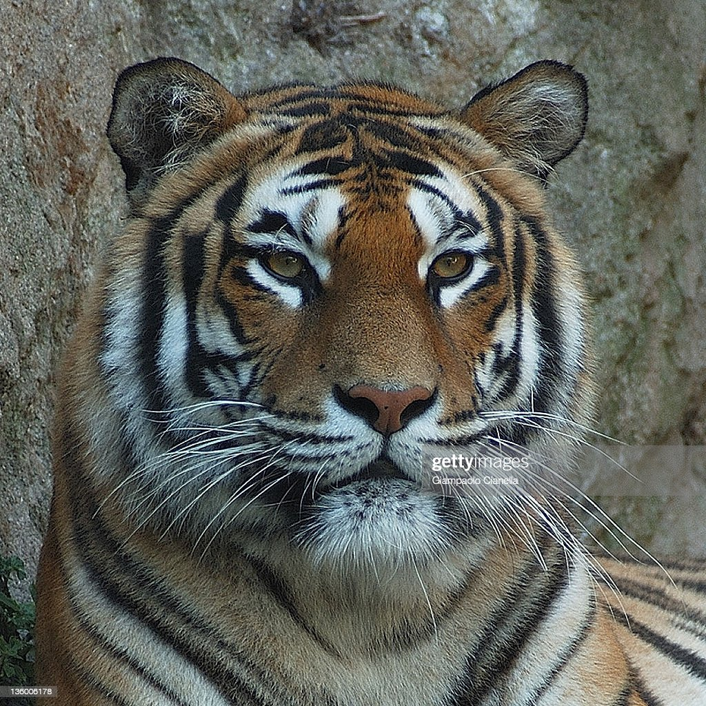 Tiger : Stock Photo