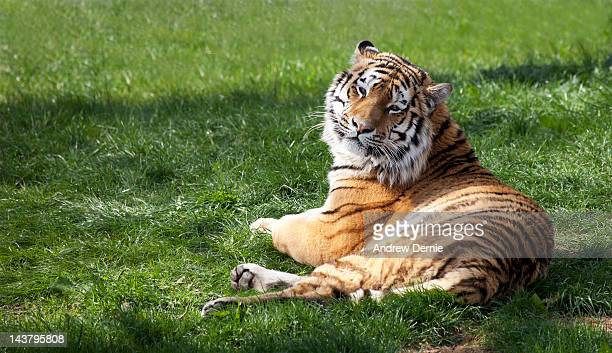tiger - andrew dernie stock pictures, royalty-free photos & images