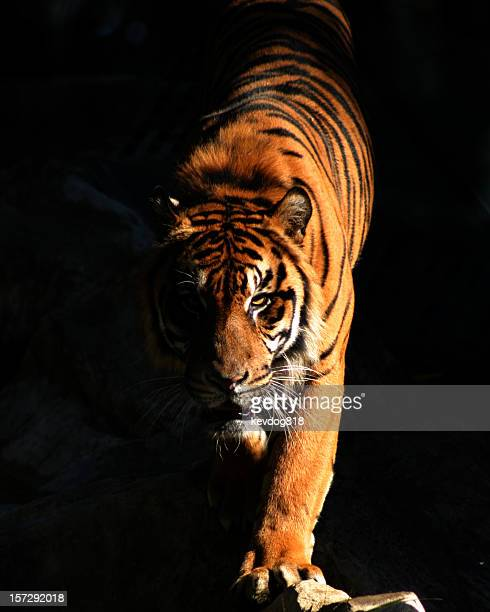 tiger - dark panthera stock pictures, royalty-free photos & images