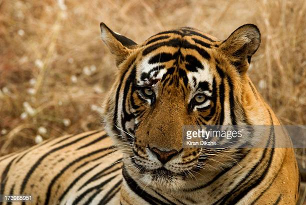 tiger - bengal tiger stock pictures, royalty-free photos & images