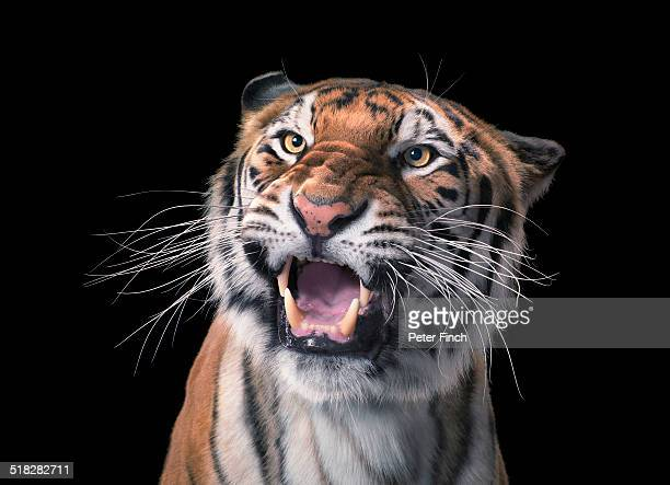 tiger - whisker stock pictures, royalty-free photos & images