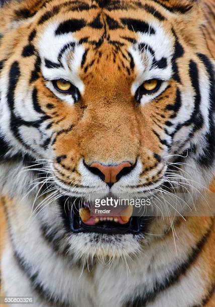 tiger - siberian tiger stock pictures, royalty-free photos & images