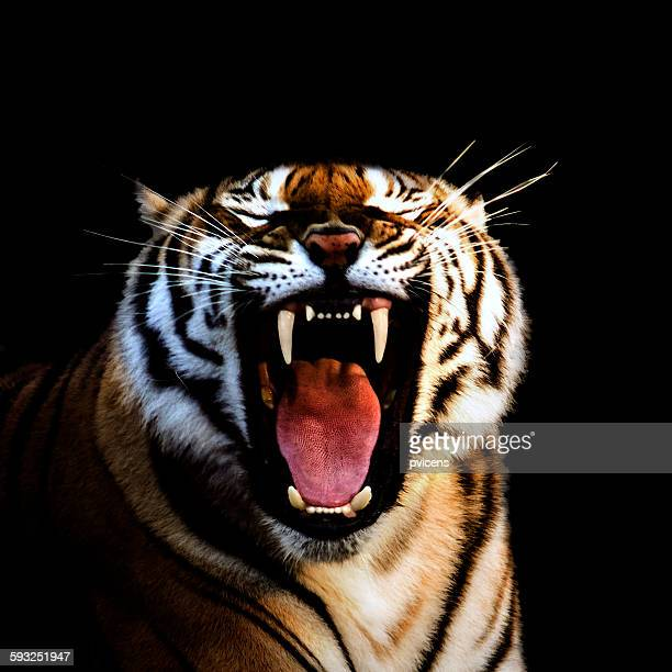 tiger - carnivora stock pictures, royalty-free photos & images