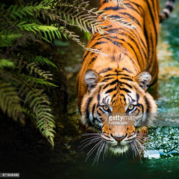 tiger - endangered species stock pictures, royalty-free photos & images
