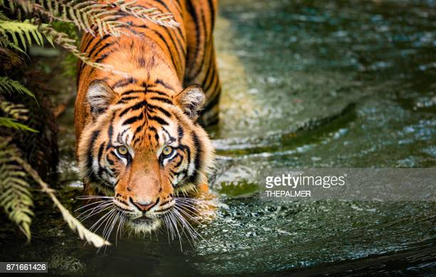60 Top Tiger Pictures, Photos, & Images - Getty Images