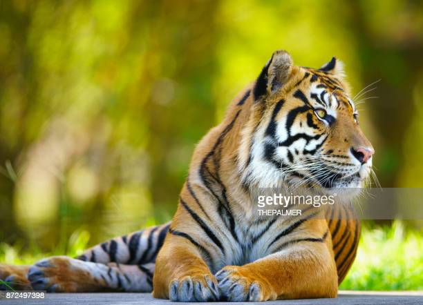tiger - threatened species stock photos and pictures