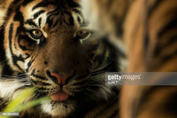 tiger - hairy asian stock pictures, royalty-free photos & images