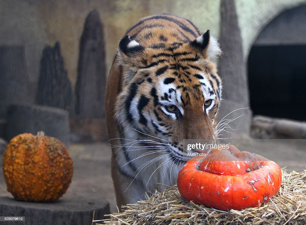 bulgaria zoo halloween pictures getty images