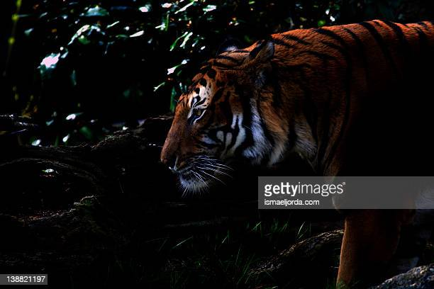 tiger portrait in shadows - dark panthera stock pictures, royalty-free photos & images