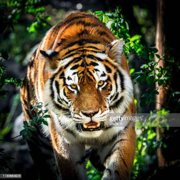 tiger portrait - siberian tiger stock pictures, royalty-free photos & images