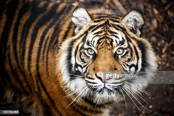 tiger portrait - tierkopf stock-fotos und bilder