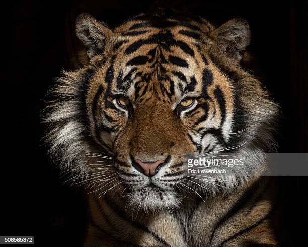 382 Tiger Black Background Photos And Premium High Res Pictures Getty Images