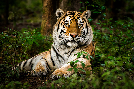Tiger portrait 949472768