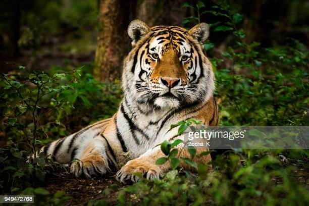 tiger portrait - animals in the wild stock pictures, royalty-free photos & images