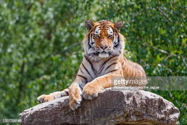tiger posing on the top of the rock - tiger stock pictures, royalty-free photos & images