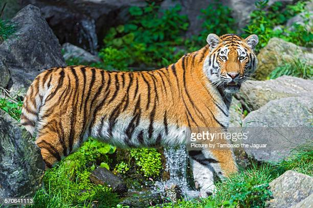 Tiger posing over the waterfall