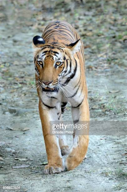 Tiger, ramnagar, uttarakhand, India, Asia