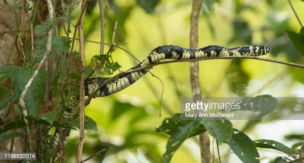 tiger rat snake - chicken snake stock pictures, royalty-free photos & images
