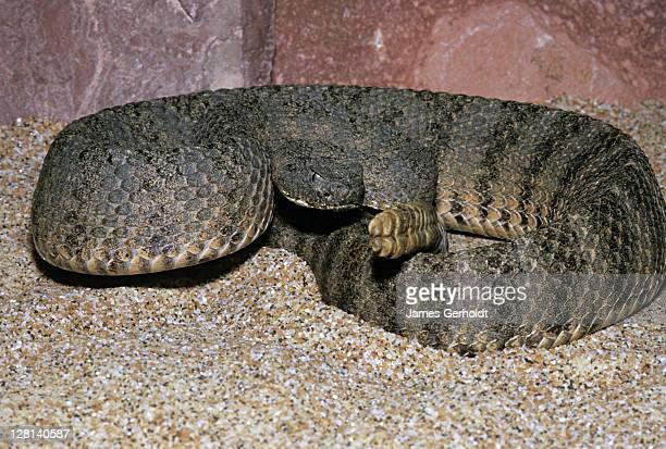 Tiger Rattlesnake, Crotalus tigris, Maricopa County, Arizona, USA