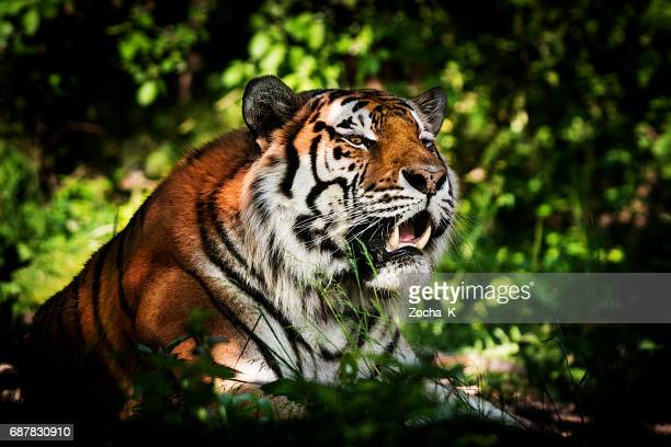 tiger - ready for hunting - carnivora stock pictures, royalty-free photos & images