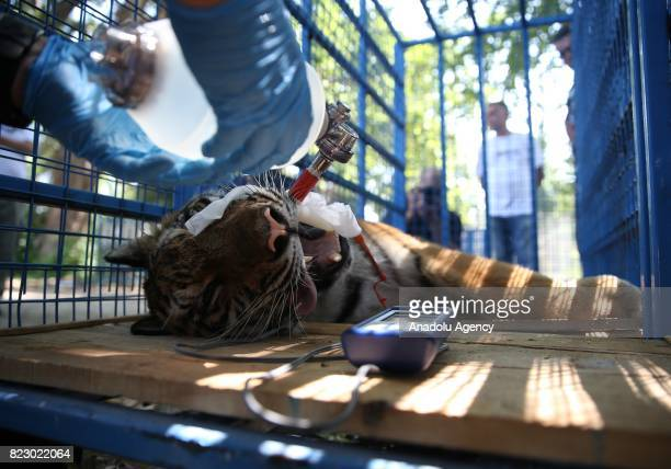 A tiger receives a medical treatment in a cage from a health care member who works for the name of Four Paws in Bursa Turkey on July 26 2017 Heavily...