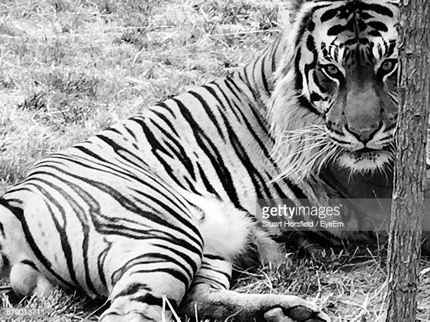 Tiger Relaxing On Grassy Field