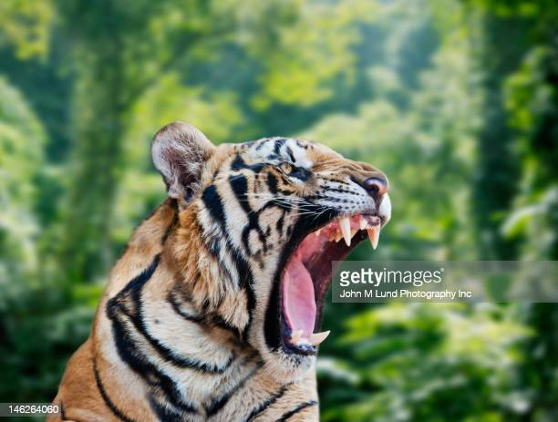 Tiger roaring in forest