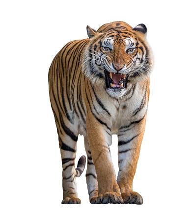 Tiger Roaring isolated on white background. 1075940694