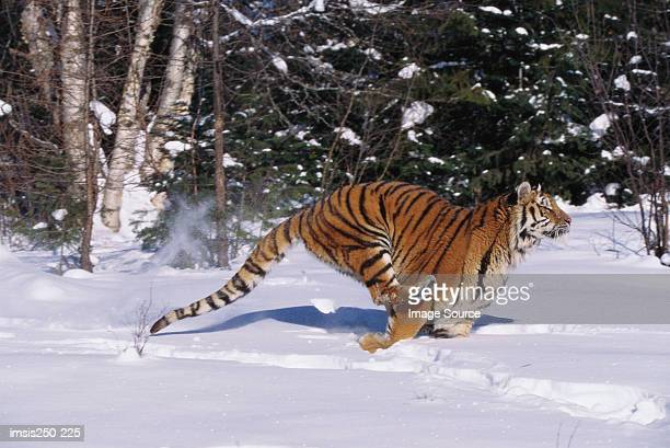 tiger running in snow - siberian tiger stock pictures, royalty-free photos & images