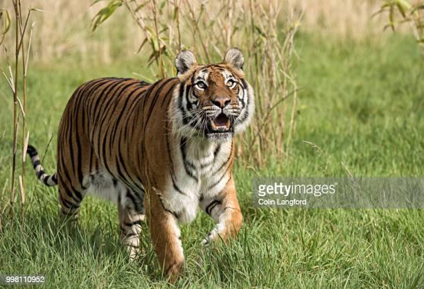 tiger series (2) - sumatran tiger stock pictures, royalty-free photos & images