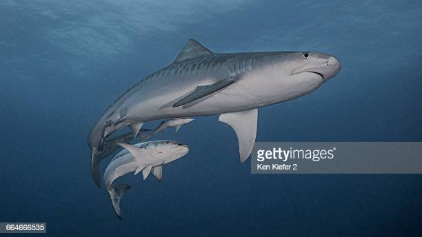 tiger shark and cobia - requin tigre photos et images de collection