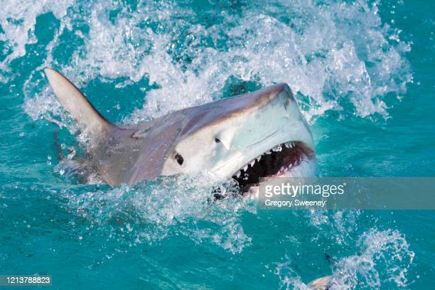 tiger shark attacks at the surface - tiger shark stock pictures, royalty-free photos & images
