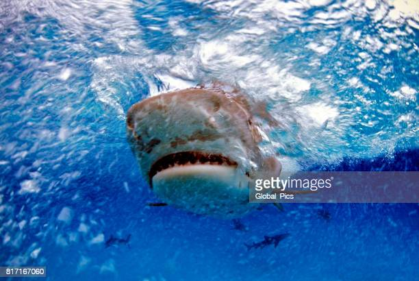 tiger shark (galeocerdo cuvier), bahamas - tiger shark stock pictures, royalty-free photos & images