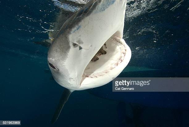 tiger shark- close up - tiger shark - fotografias e filmes do acervo