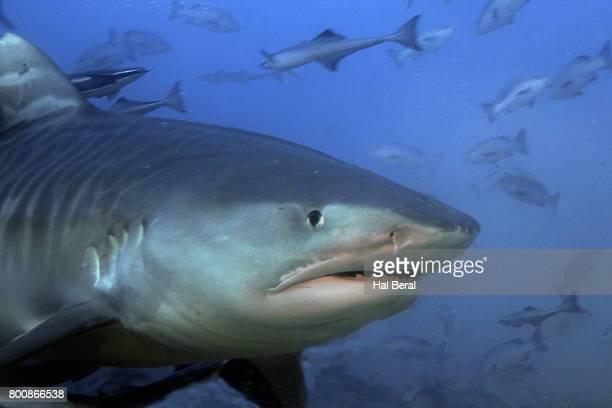 tiger shark close-up - requin tigre photos et images de collection