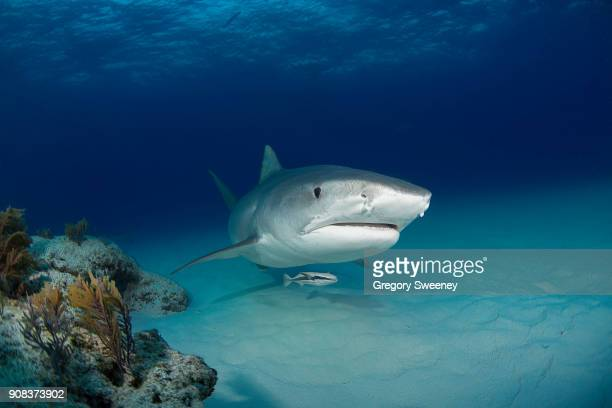 tiger shark front view with reef - tiger shark stock pictures, royalty-free photos & images