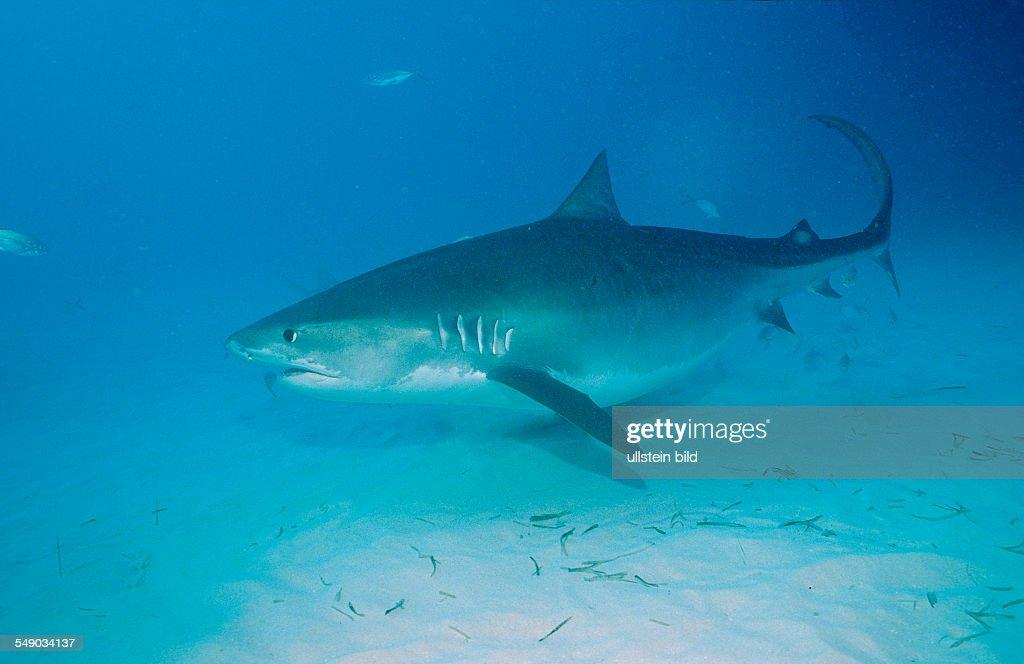 Tiger Shark, Galeocerdo cuvier, Bahamas, Grand Bahama Island, Atlantic Ocean : News Photo