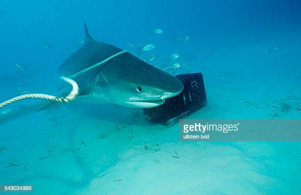 Tiger Shark Galeocerdo cuvier Bahamas Grand Bahama Island Atlantic Ocean
