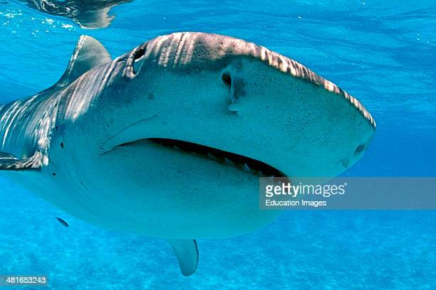 Tiger shark Galeocerdo cuvier closeup found around the north western islands of Hawaii belongs to the family of the Gray Sharks Carcharhinidae and it...