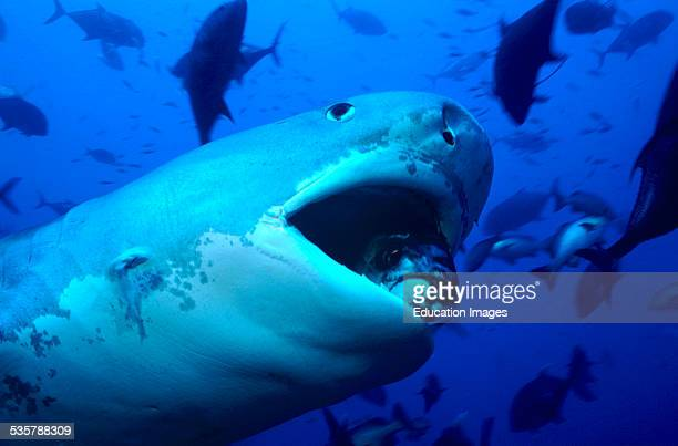 Tiger shark Galeocerdo cuvier Tiger shark Tiger Sharks are incredibly impressive and large sharks which can reach a length of about six meters The...
