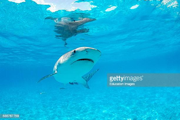 Tiger shark Galeocerdo cuvieri are incredibly impressive and large sharks and reach a length of about six meters with a wide mouth and broad nose The...
