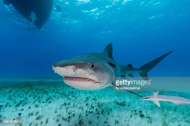 tiger shark in shallow water, the bahamas. - bull shark stock pictures, royalty-free photos & images