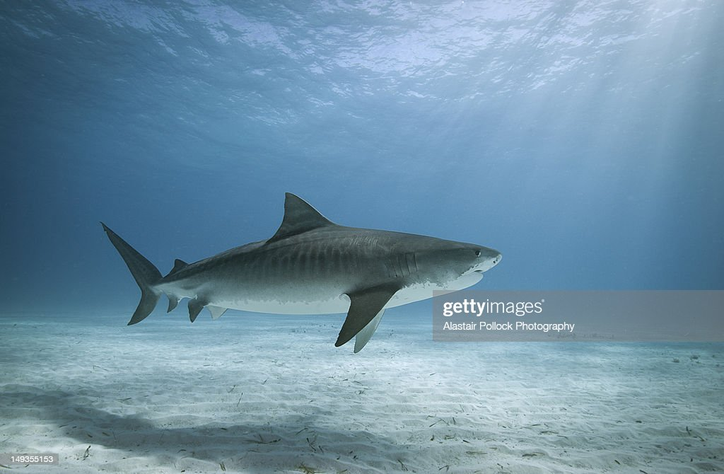 Tiger shark in water : Stock Photo