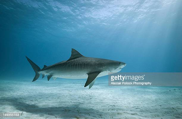 tiger shark in water - sharks stock pictures, royalty-free photos & images