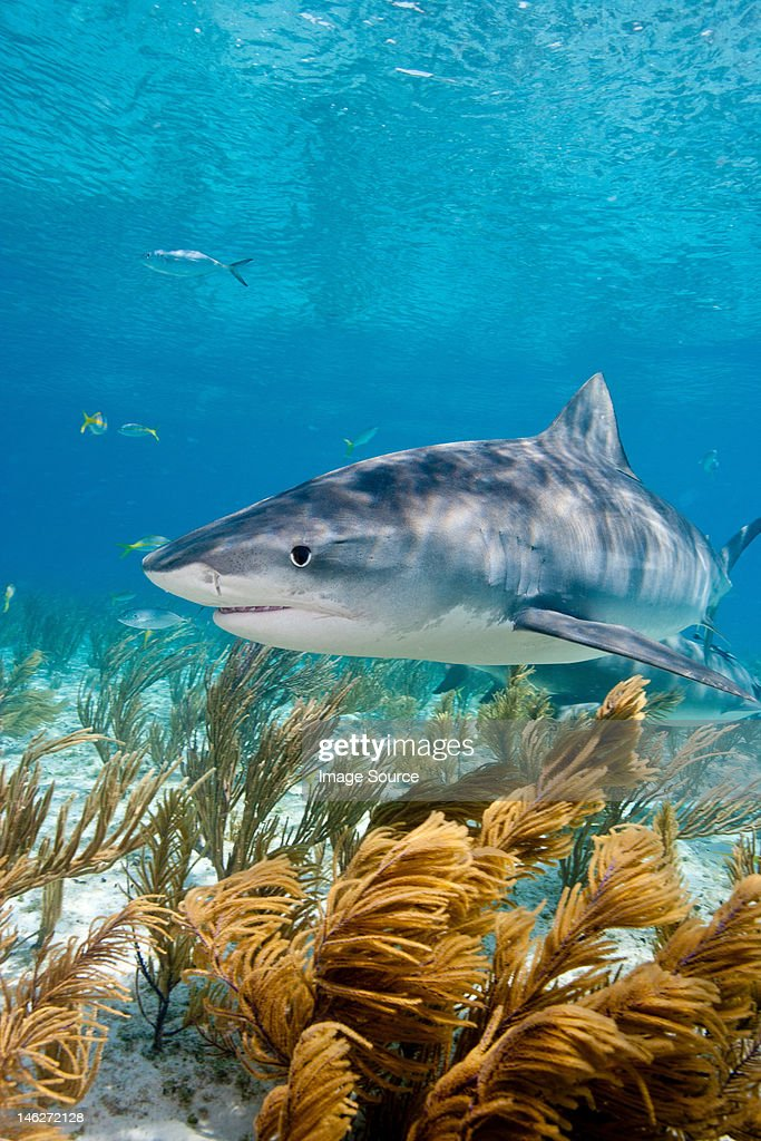 Tiger shark on the prowl : Stock Photo